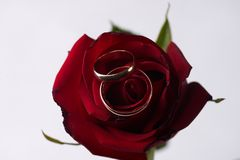 Closeup of a beautiful romantic red Rose with two wedding gold rings Stock Photography