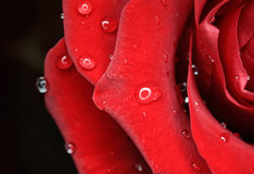 Closeup of beautiful rose with Droplets. Anniversa. Closeup of beautiful rose with Droplets. Valentine postcard stock photo