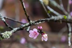 Closeup of beautiful small pink peach bloom on mossy branch Royalty Free Stock Photos