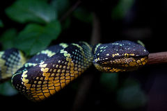 Closeup of a beautiful snake Royalty Free Stock Photo