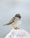 Closeup of a beautiful sparrow sitting on rock Royalty Free Stock Photography