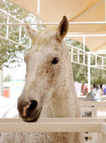 Closeup of a beautiful spotted arabian horse Royalty Free Stock Images