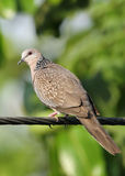 Closeup of Beautiful Spotted Dove Royalty Free Stock Photography