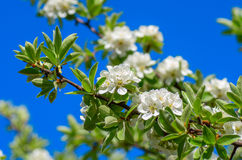 Closeup of a beautiful spring apple tree Royalty Free Stock Photo