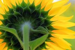 Closeup of beautiful sunflower Royalty Free Stock Photos