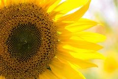 Closeup of a beautiful sunflower Royalty Free Stock Photo