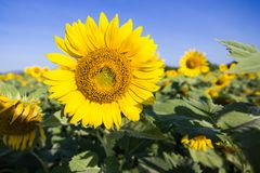 Sunflower or Helianthus in Sunflower Field Stock Images