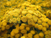Closeup of beautiful Tansy(Tanacetum vulgare) flowers bunch Royalty Free Stock Image