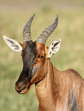 Closeup of a beautiful Topi antelope Royalty Free Stock Images