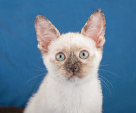 Closeup of a beautiful tortie point Siamese kitten Stock Photos