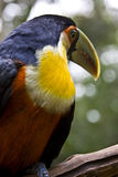 Closeup of beautiful toucan Royalty Free Stock Photos