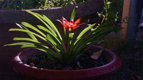 Closeup beautiful tropical green plant with bright red flower. Grows in brown pot in sunlight stock footage