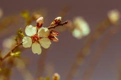 Closeup of beautiful vintage sakura tree flowers (cherry blossom) in spring Royalty Free Stock Photography