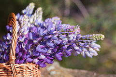 Closeup beautiful violet lupine bouquet in basket on the open ai Royalty Free Stock Photo