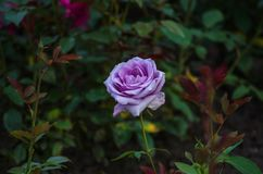 Closeup of a beautiful violet rose on a bush with dark green leaves. Closeup of a beautiful violet rose with dark green leaves. Summer roses stock images