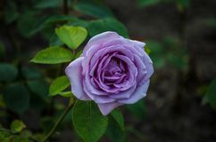 Closeup of a beautiful violet rose with dark green leaves. Summer roses stock photo