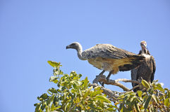 Closeup of Beautiful Vulture Stock Photo
