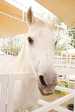Closeup of a beautiful white arabian horse Stock Photography