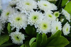 Closeup of beautiful white chrysanthemum flowers in full bloom with green leaves. Also called mums or chrysanths. Horizontal closeup photo of beautiful white royalty free stock photos