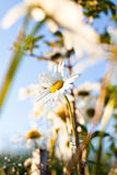 Closeup of beautiful white daisy flower. In a country meadow with soft lighting and bokeh in the warm summer with a blue sky Royalty Free Stock Photos