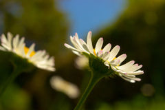 Closeup of beautiful white daisy flowers with a blue sky. Stock Photos