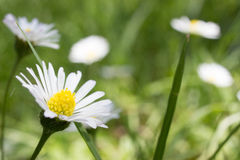 Closeup of beautiful white daisy flowers Stock Photos