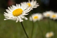 Closeup of beautiful white daisy flowers Royalty Free Stock Image