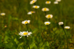 Closeup of beautiful white daisy flowers. In a country meadow Royalty Free Stock Image