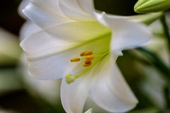 Closeup of beautiful white Easter lily Royalty Free Stock Photo