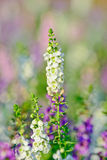 Closeup of beautiful white flower ; thai style forget-me-not Royalty Free Stock Images