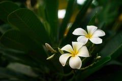 Closeup beautiful white frangipani or plumeria. On tree Royalty Free Stock Photo