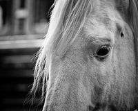 Closeup of a beautiful white horse Royalty Free Stock Image