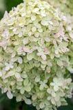 Closeup  of a beautiful white hydrangea in garden. stock image