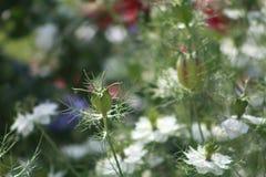 Closeup of nigella damascena. Closeup beautiful white love-in-a-mist nigella damascena Stock Image