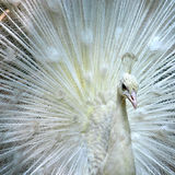 Closeup of beautiful white peacock Stock Photo