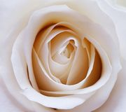 Closeup of beautiful white rose. Beauty of flowers. royalty free stock images