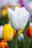 Closeup Beautiful white tulip. Vertical Abstract background. Flowerbackground, gardenflowers. Garden flowers. Space in background for copy, text, your words Stock Photography