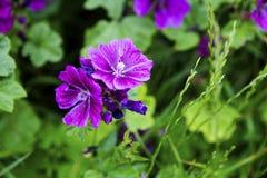 Closeup of beautiful wild purple mallow Royalty Free Stock Image