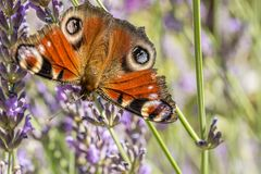 Closeup of the beautiful wings of the peacock`s eye in lavender royalty free stock photos