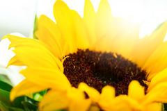 Closeup of Beautiful Yellow Flower Gerber with Beautiful Dayligh Royalty Free Stock Image