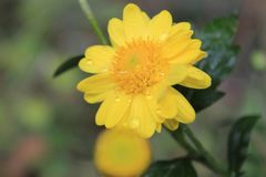 Closeup of beautiful yellow flower,macro photography,dew drops or water drops on flower royalty free stock image