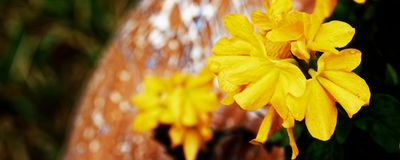 Closeup of a beautiful yellow flower - nature photo, shallow depth of field royalty free stock photo