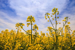closeup beautiful yellow rapeseed flowers on field in blossom Royalty Free Stock Images