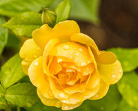 Closeup of beautiful yellow rose. With water drops Royalty Free Stock Images