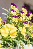 Closeup of beautiful yellow and violet viola cornuta or horned p royalty free stock photos