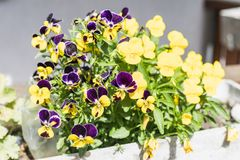 Closeup of beautiful yellow and violet viola cornuta or horned p royalty free stock photography