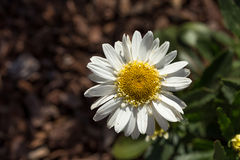 Closeup of a beautiful yellow and white Marguerite, Daisy flower Royalty Free Stock Images