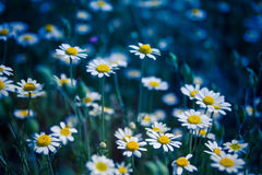 Closeup of a beautiful yellow and white Marguerite, Daisy flower Royalty Free Stock Image