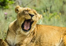 Closeup of a beautiful young brown African Lioness roaring stock photos