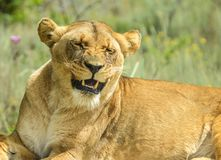 Closeup of a beautiful young brown African Lioness sitting idle during a safari in a nature reserve in South Africa. Beautiful young brown African Lioness stock images